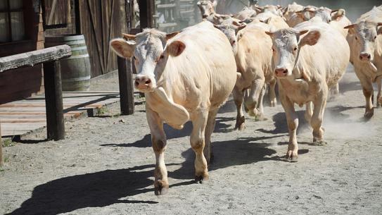 herding-cows