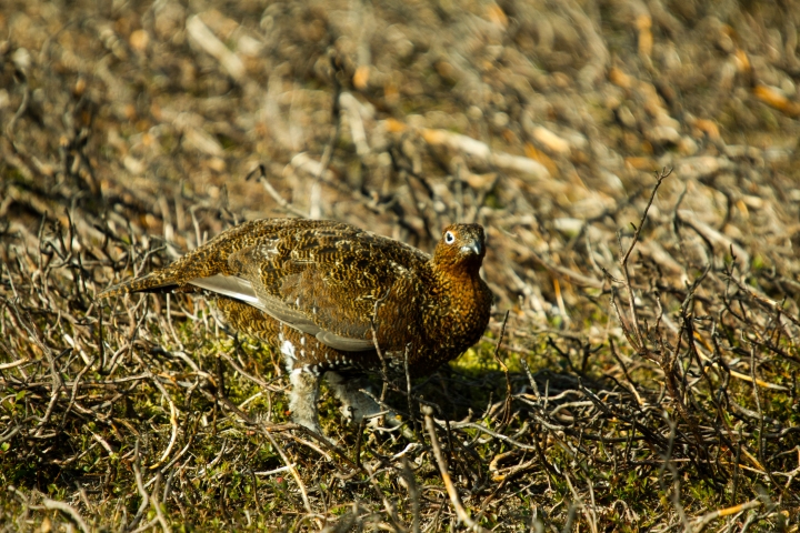 red-grouse-head-down-trevor-davey